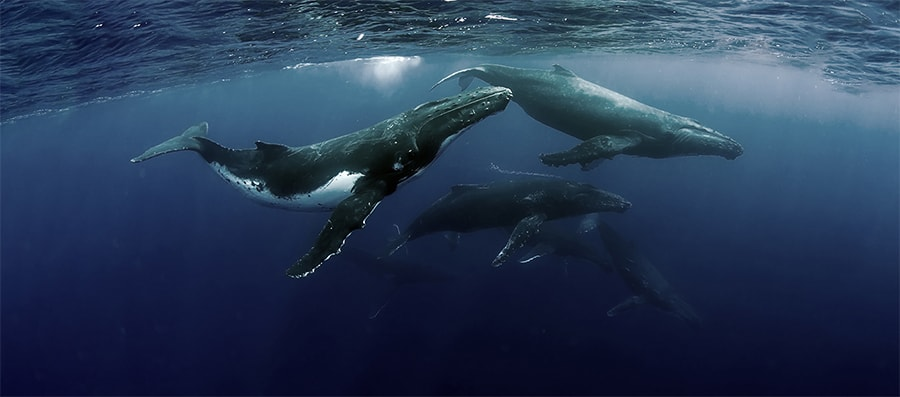 Mobydick Tonga Whales